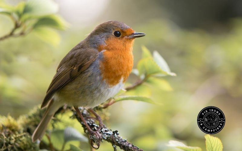 Picture of a robin sitting on a branch.