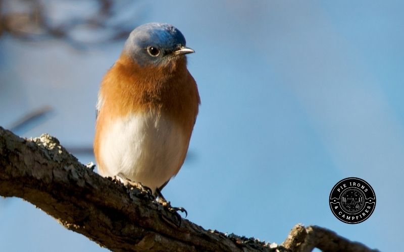 Picture of an American Bluebird sitting on a branch.