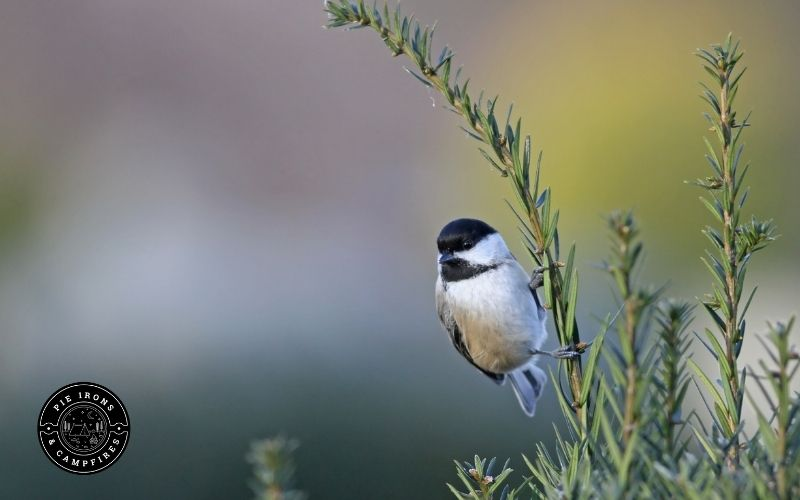 Picture of a chickadee on grass.